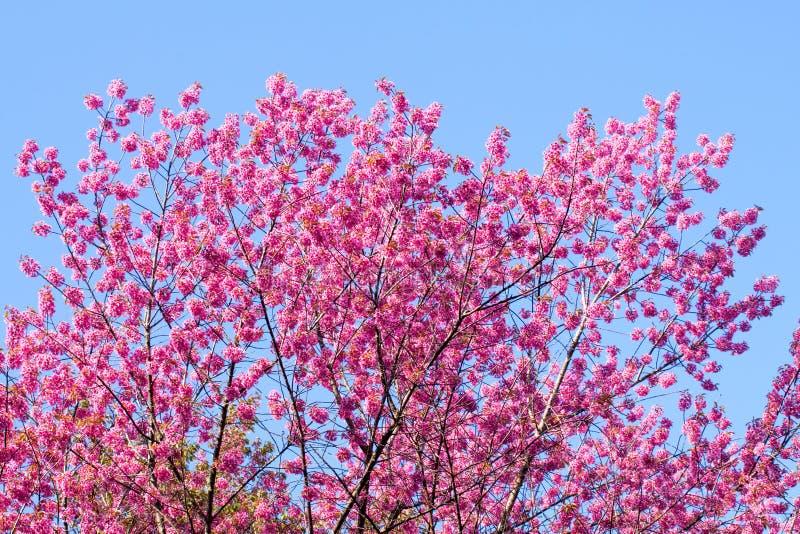 Одичалый гималайский цветок вишни стоковая фотография rf