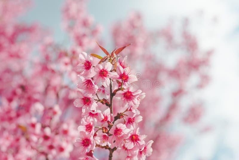 Одичалый гималайский цветок вишни стоковое фото rf