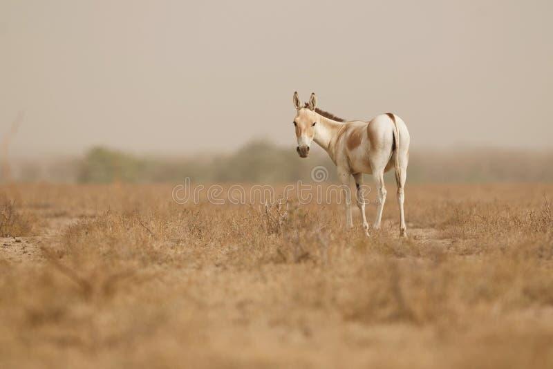 Одичалый ишак в пустыне меньшее rann kutch стоковая фотография