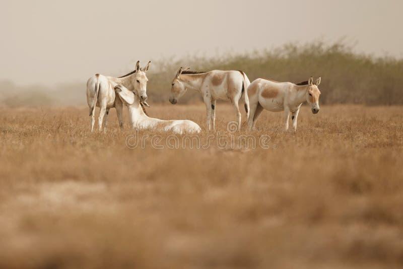 Одичалый ишак в пустыне меньшее rann kutch стоковые изображения rf