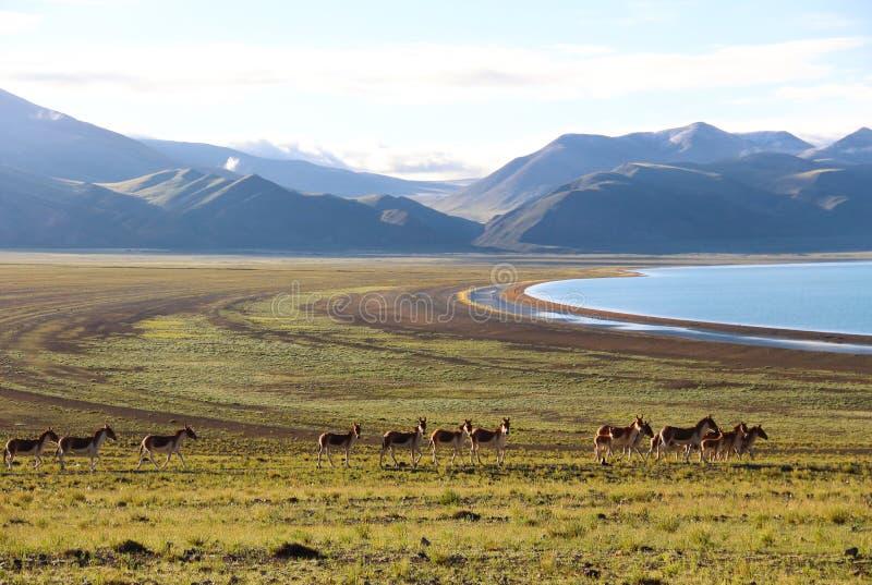 Одичалый ишак в Тибете стоковое фото rf