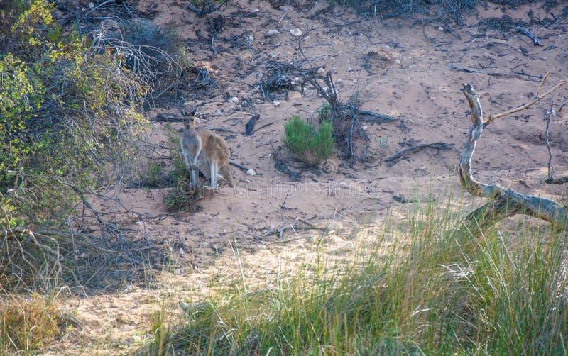 Одичалый кенгуру рекой Murchison стоковое изображение rf