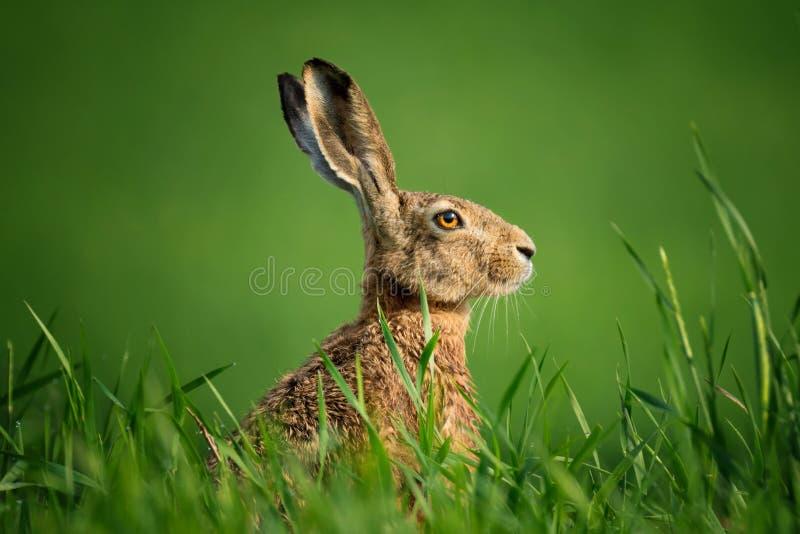 Одичалый конец-Вверх европейских зайцев Зайцы, предусматриванные при падения росы, сидя на зеленой траве под Солнцем Одиночные од стоковые фото