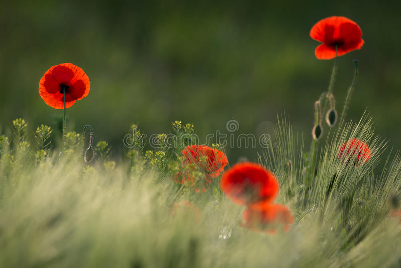 Одичалый красный мак, съемка с малой глубиной фокуса, на зеленом луге в Солнце Нескольк красный конец-Вверх мака среди пшеницы из стоковое фото