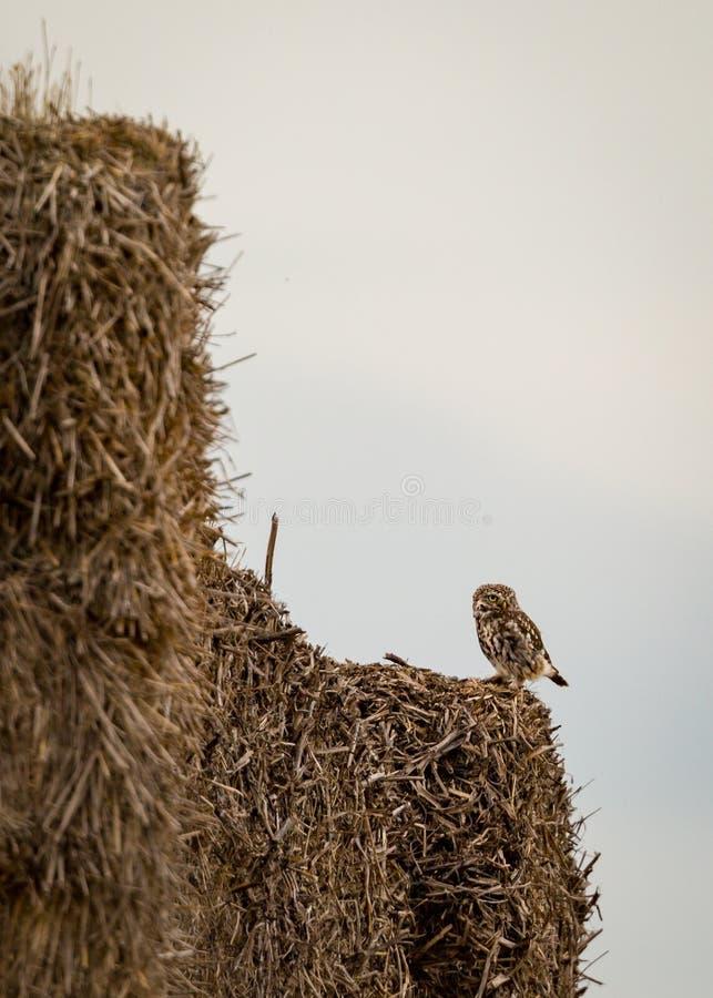Одичалый маленький сыч сидел на крае связок сена (Noctua Athene) стоковое изображение rf