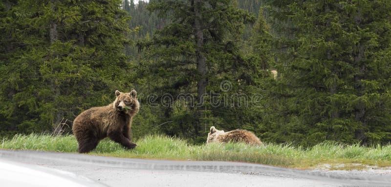 Одичалый медведь гризли стоковое фото