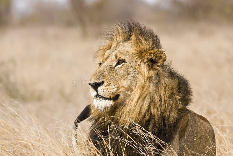 Одичалый мужской лев, национальный парк Kruger, Южная Африка стоковое фото rf