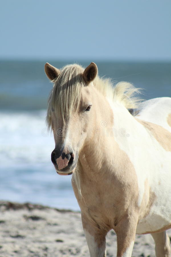 Одичалый пони на Seashore соотечественника Assateague стоковое фото rf