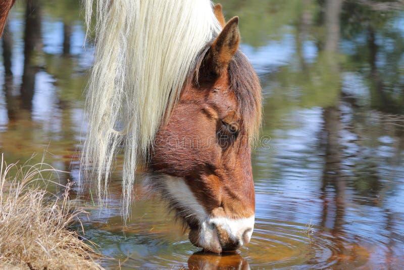 Одичалый пони Chincoteague стоковое фото rf