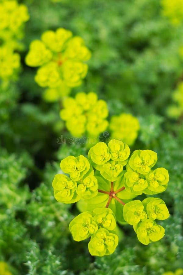 Одичалый цветок в цветени стоковые фотографии rf