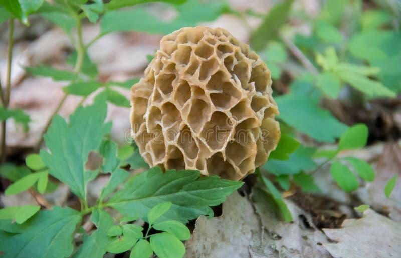 Одичалый Morchella гриба сморчка весны esculenta деликатность стоковое изображение rf