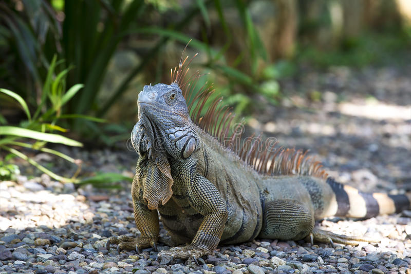 Одна игуана черепахи стоковые изображения rf