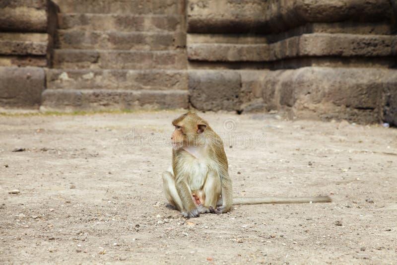 Одна молодая обезьяна стоковые фотографии rf