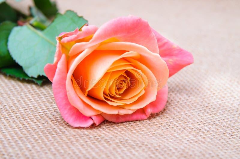Одна роза красно-апельсина стоковые изображения