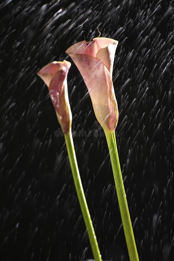 Одна розовая лилия cala изолированная на черноте стоковые изображения