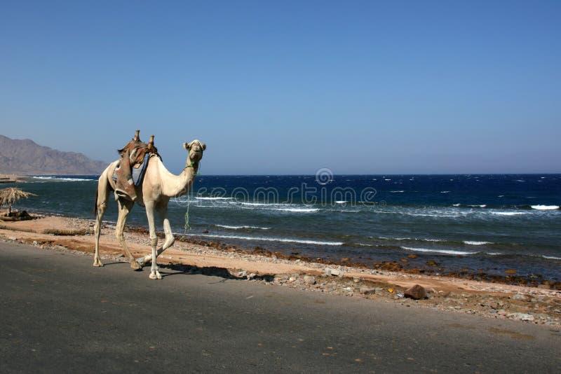 Одно верблюда идя домашнее стоковое изображение rf