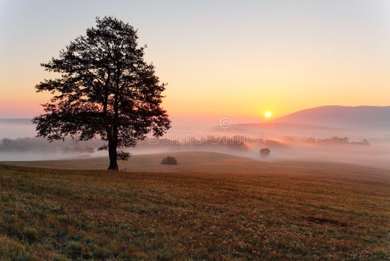 Одно дерево на лужке на заходе солнца с солнцем и туманом - панорамой стоковые изображения