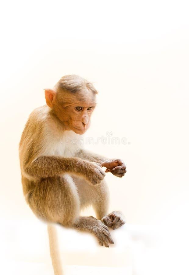 Одно животное, молодая обезьяна стоковые фото