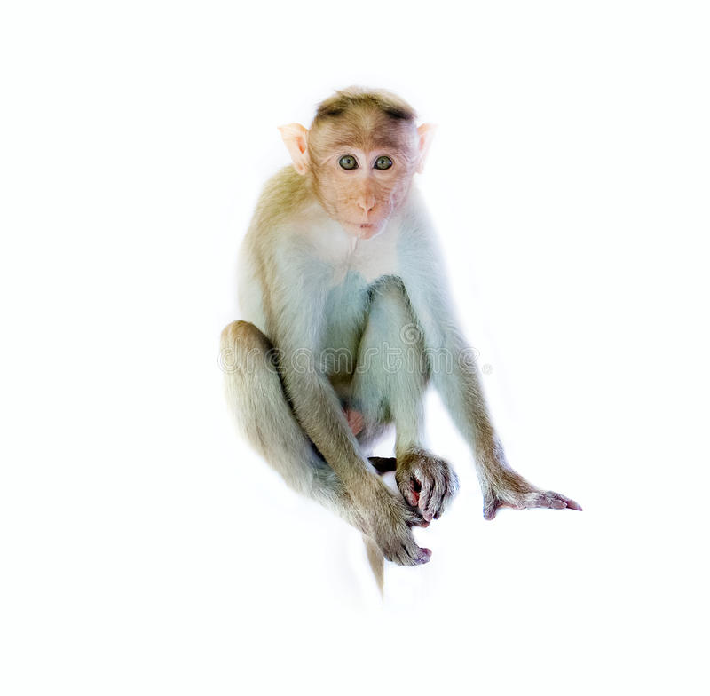 Одно животное, молодая обезьяна стоковое фото
