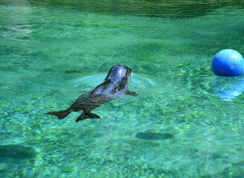 Одно уплотнение плавает в воде в зоопарке стоковая фотография