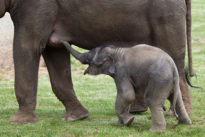 Одн-месяц-старый индийский слон (indicus maximus Elephas) со своим стоковое изображение