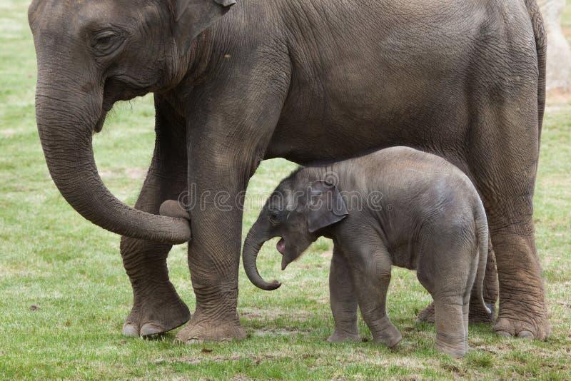 Одн-месяц-старый индийский слон (indicus maximus Elephas) со своим стоковая фотография