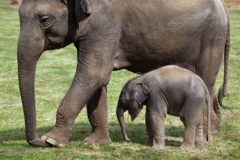 Одн-месяц-старый индийский слон (indicus maximus Elephas) со своим стоковые изображения rf