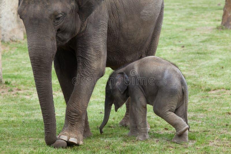 Одн-месяц-старый индийский слон (indicus maximus Elephas) со своим стоковые изображения