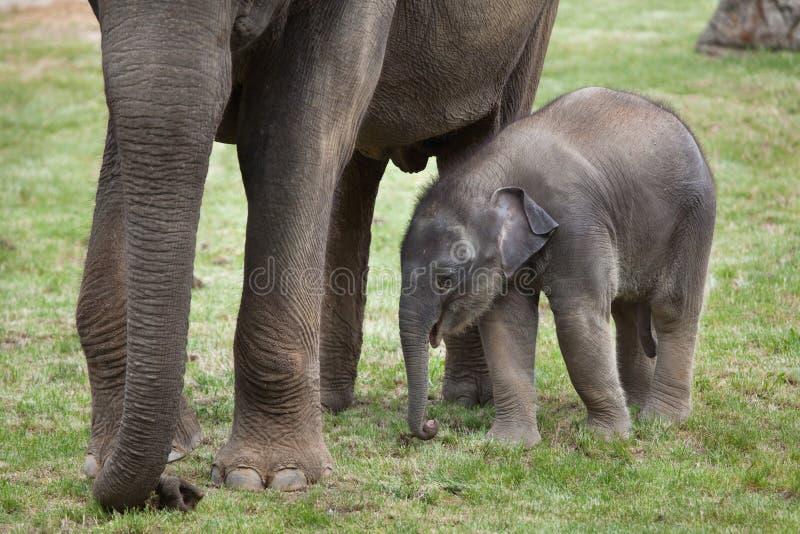 Одн-месяц-старый индийский слон (indicus maximus Elephas) со своим стоковое фото rf