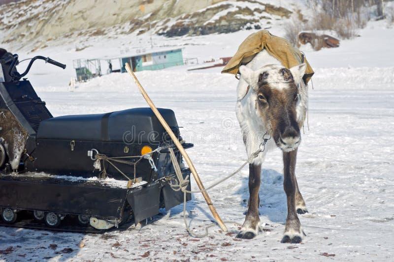 Одомашниванный северный олень с упаденными рожками стоковые фото