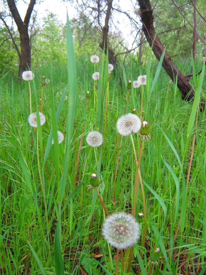 Одуванчики в траве стоковая фотография rf