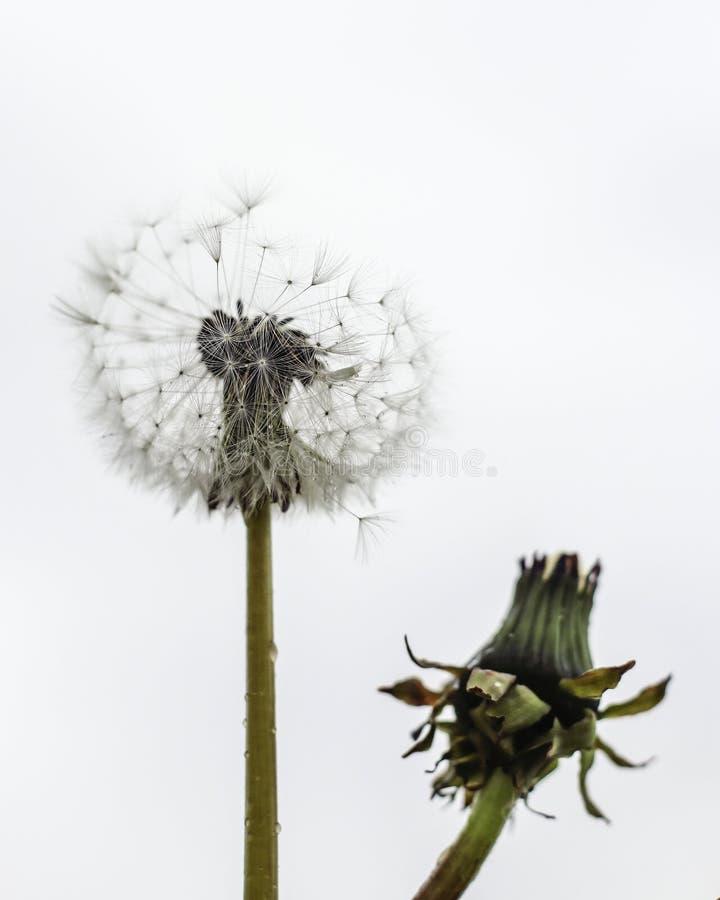 Download Одуванчики стоковое изображение. изображение насчитывающей семена - 81806955