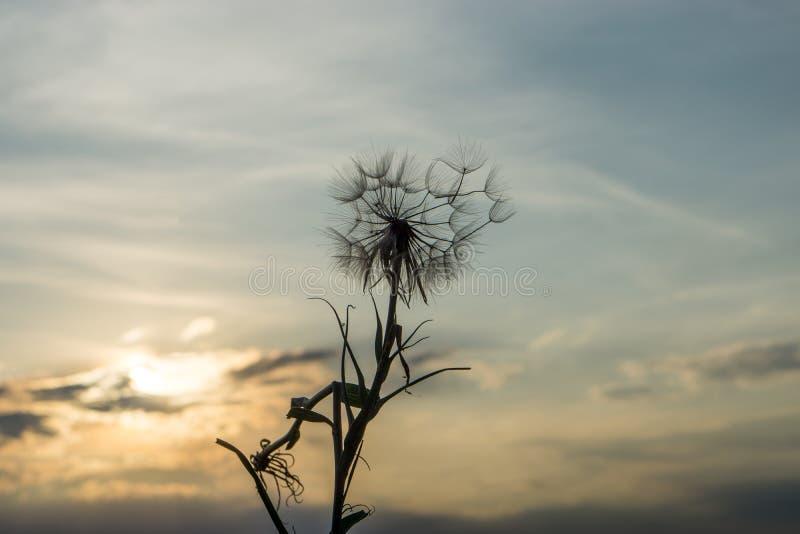 Одуванчик в заходе солнца стоковая фотография rf