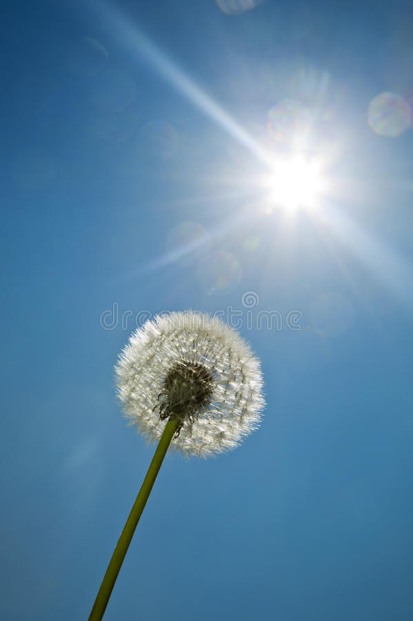 Одуванчик на голубом небе яркое солнце Солнечность стоковое фото rf