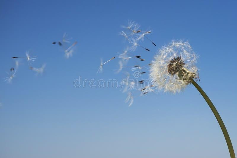 Одуванчик при семена дуя прочь в ветре стоковые изображения
