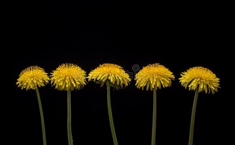 Одуванчик среди цветков стоковое фото
