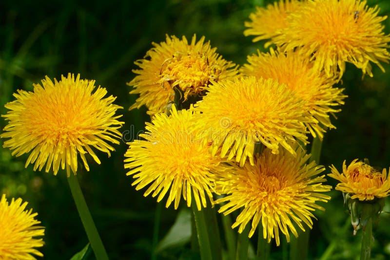 Одуванчик среди цветков стоковое изображение rf