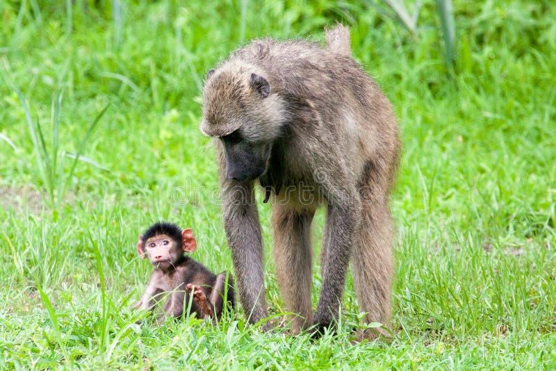 Павиан младенца со своей матерью стоковое фото