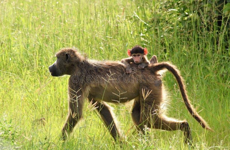 Павиан с катанием младенца на своей задней части стоковые фотографии rf