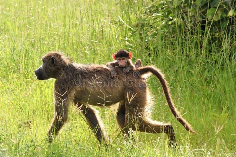 Павиан с катанием младенца на своей задней части стоковые фото