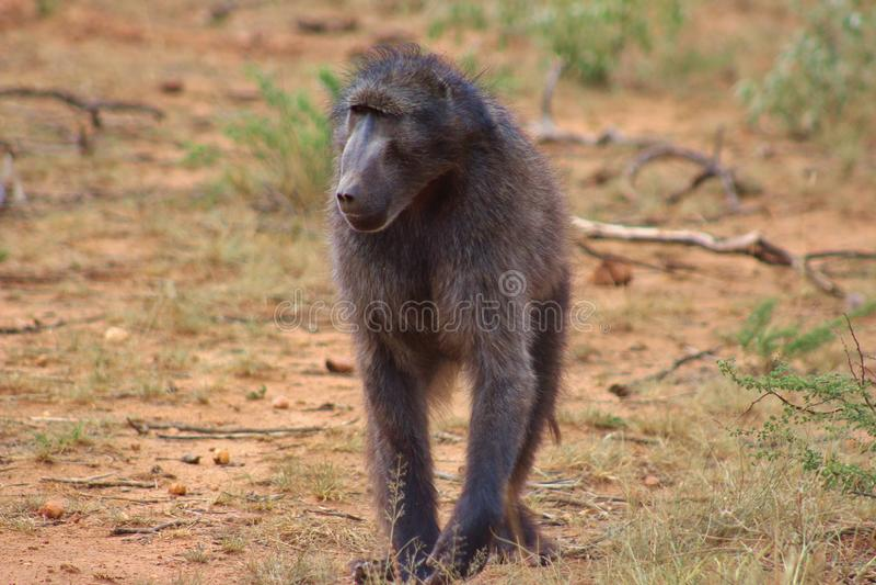 Павиан Chacma захваченный в Намибии стоковая фотография rf