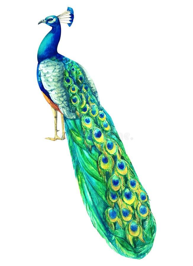 Павлин акварели покрашенный рукой пестротканый гордая экзотическая птица с лазурным оперением Тропическая trandy иллюстрация для  иллюстрация штока