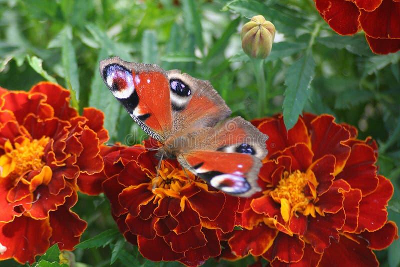 павлин бабочки стоковое изображение rf