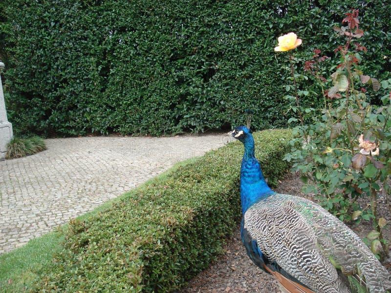 Павлин гуляя в европейском саде стоковая фотография