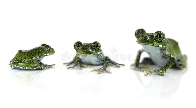 павлин лягушек стоковая фотография rf