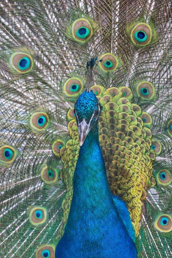 Павлин с зеленым и голубым крупным планом кабеля стоковые фотографии rf