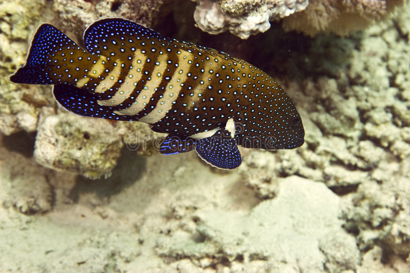 павлин grouper cephalopholis argus стоковое изображение