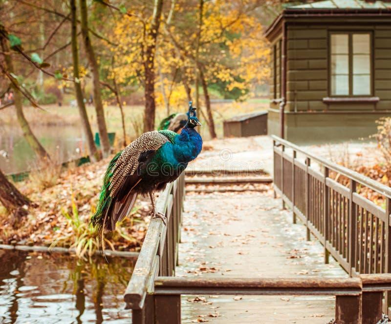 Павлины в парке Lazienki стоковая фотография rf