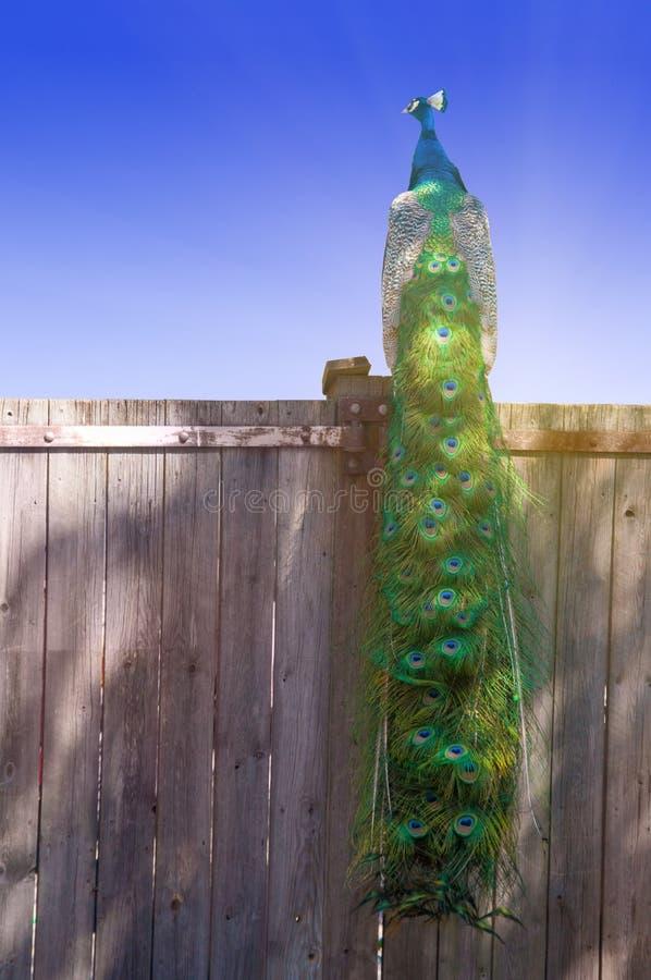 Павлин на загородке стоковые фотографии rf