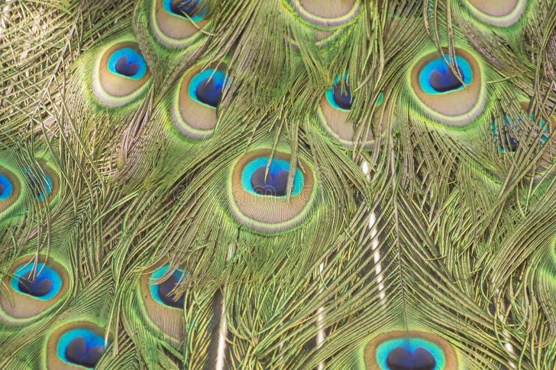 Павлин Blured распространил свою текстуру пера стоковые фотографии rf